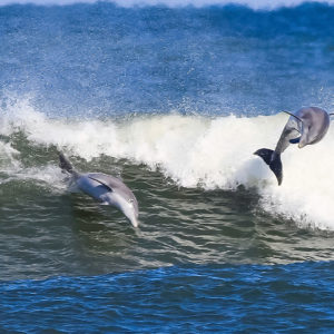 dolphins-jump_mg_9024